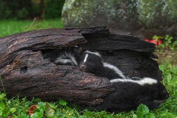 Wall Mural - Striped Skunk (Mephitis mephitis) Kits Hang Out in Log Summer