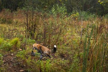 Wall Mural - Red Fox (Vulpes vulpes) Pins Silver Fox on Weedy Island Autumn