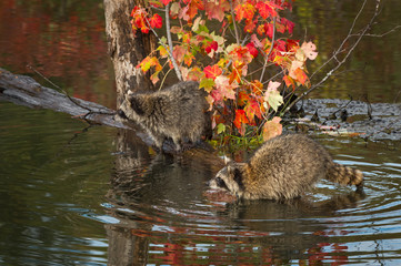 Wall Mural - Raccoons (Procyon lotor) Look Intently Left Balanced on Logs in Pond Autumn