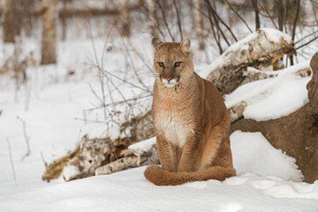 Foto op Textielframe Puma Adult Female Cougar (Puma concolor) Stares Out Sitting in Snow Next to Den Winter