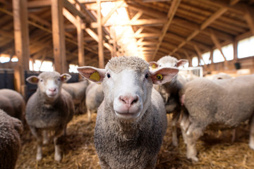 Sheep looking at camera in the wooden barn. In background group of sheep animals standing and eating on the farm.