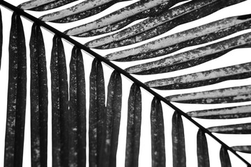 Poster Palm tree palm in black and white