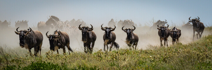 Panorama of blue wildebeest galloping in grass Wall mural