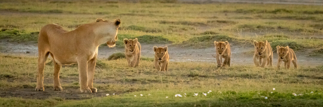 Panorama of lioness looking back to cubs