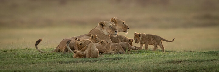 Panorama of two lionesses lying with cubs