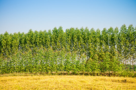 Eucalyptus plant tree beside yellow rice field with blue sky for paper or healthy oil industry in Thailand. Eucalyptus is a fast growing tree native to Australia.