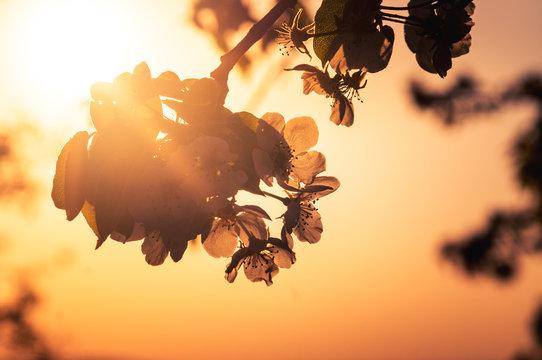 Blüte im Sonneuntergang