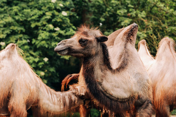 Poster Kameel two-humped camels walks in the green Park in summer. Summer camels walks in the Park. selective focus