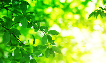 Wall Mural - New fresh leaves on green spring background