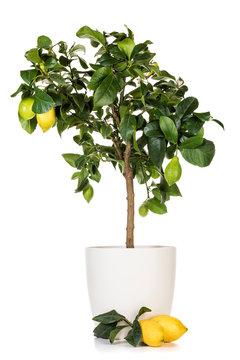 Potted lemon tree and ripe fruits  isolated on white background