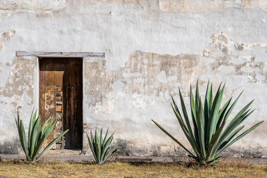 A Mexican scene of three espadin agave plants, against a rugged peeling white wall with a wood door, in Oaxaca, Mexico