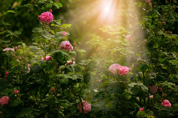 Wall Mural - Blooming rose flower in fabulous garden on mysterious fairy tale spring or summer floral sunny background with sun light beams and rays, fantasy amazing nature dreamy landscape
