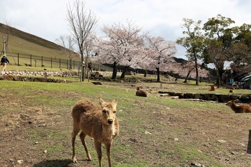 Keuken foto achterwand Hyena 奈良公園 鹿と桜