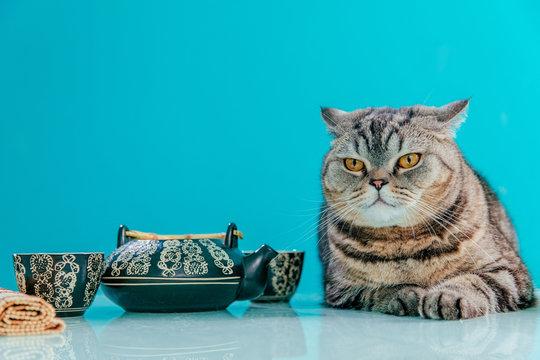 funny plump scotish stright cat