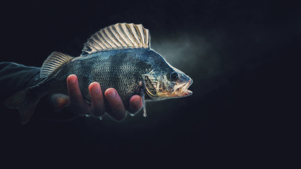 A beautiful perch in the hand of a fisherman. On a black background. Wall mural