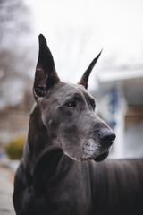 Obraz Great Dane profile in spring - fototapety do salonu