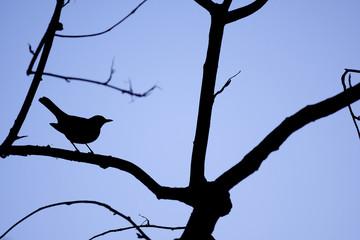 Silhouette of a Blackbird (Turdus merula) Fototapete