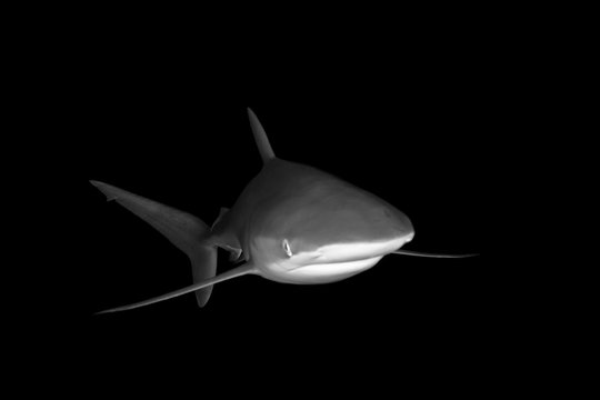 Black and White picture of Silky Shark swimming at night