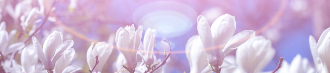Photo sur cadre textile Magnolia Panorama white magnolia flowers