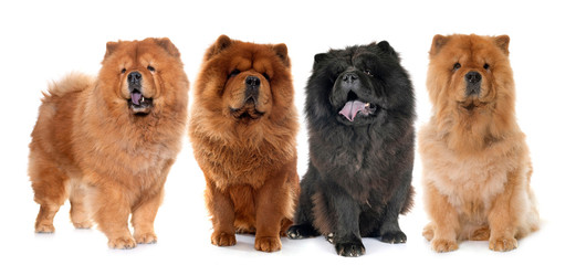 Fototapete - chow chow dogs