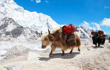 Group of Yaks carrying goods along the route to Everest Base Camp in the Himalayan Mountains of Nepal. Sagarmatha national park, trek to Everest base camp - Nepal Himalayas