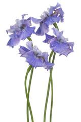 Keuken foto achterwand Iris iris flower isolated