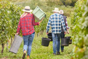 Fototapeten Pistazie Harvest helpers as seasonal workers during the wine harvest