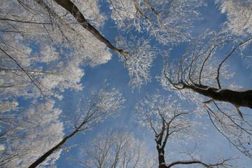 Oszronione drzewa na tle nieba