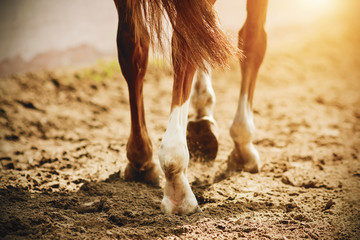 Foto op Canvas Paarden A horse with thin, elegant legs and unshod hooves walks slowly on the sand, which is illuminated by bright, warm sunlight.