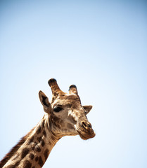 Photo sur Toile Girafe girafe
