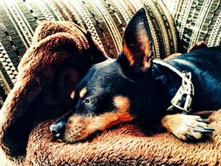 il mio piccolo cane che dorme