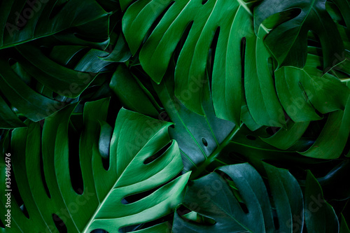 Wall mural closeup nature view of green leaf background. Flat lay, dark nature concept, tropical leaf