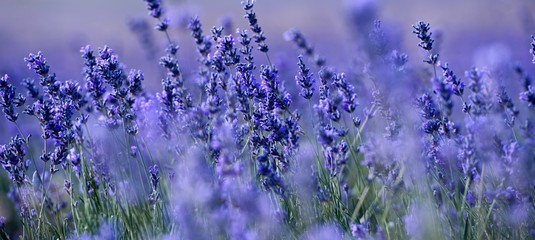 Photo sur Aluminium Lavande Banner. Lavender Field in the summer. Aromatherapy. Nature Cosmetics.