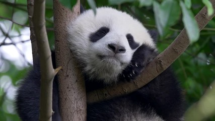 Wall Mural - Cute panda baby on the tree. 4K, UHD