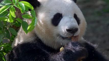 Wall Mural - Giant Panda eating bamboo. Chengdu, China