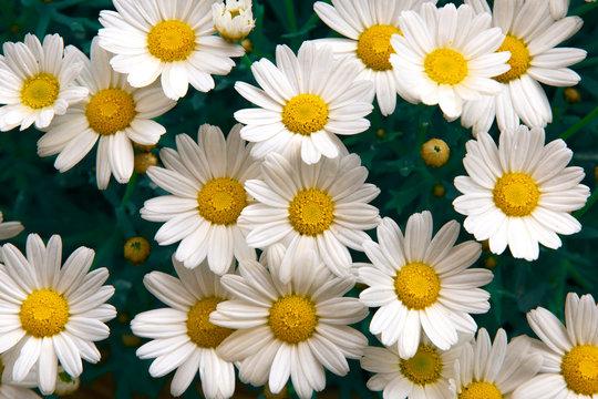 Lovely blossom daisy flowers background. Sunny meadow closeup.