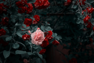 Wall Mural - Blooming pink and red rose flowers in mystical garden on mysterious fairy tale spring or summer floral background, fantasy nature dreamy landscape toned in low key, dark tones and shades