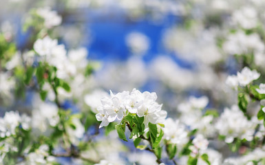 Wall Mural - blurred apple tree background with spring flowers
