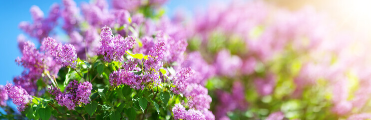 Photo sur Aluminium Lilac Lilac flowers blooming outdoors with spring blossom