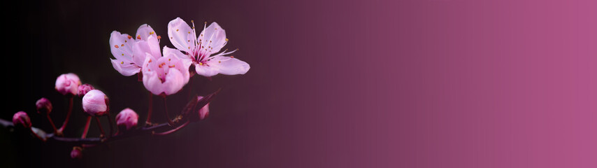 Pink beautiful blooming cherry blossoms background banner panorama, with space for text