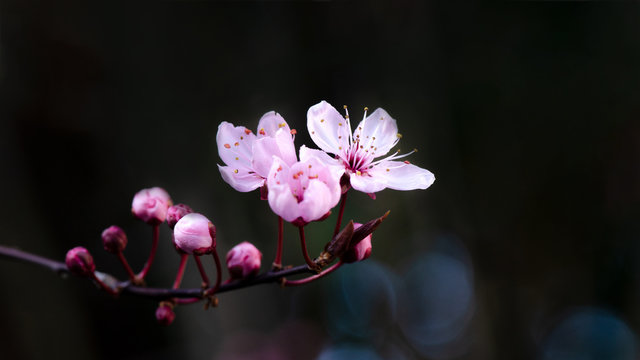 Spring flower background - Pink beautiful blooming cherry blossoms and bokeh on black dark background, with space for text