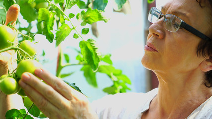 Close-up of senior scientist woman touching and analysing fresh green tomatoes. Wall mural