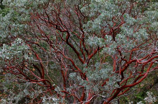 Red bark of the evergreen Manzanita tree in Yosemite National Park in winter