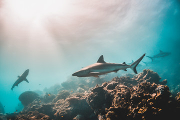 Grey reef shark swimming among coral reef in the wild Wall mural