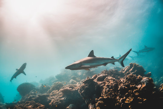 Grey reef shark swimming among coral reef in the wild