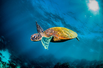Green sea turtle swimming in the wild among colorful coral reef
