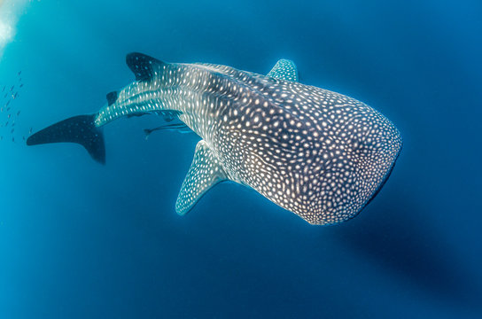 Whale Shark swimming in the wild, in crystal clear water
