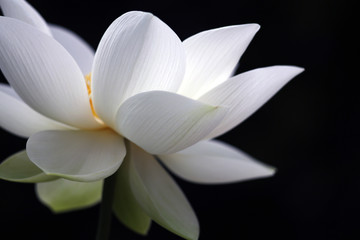 Poster Lotusbloem A white and beautiful lotus is fully blooming, showing a full and outstanding posture