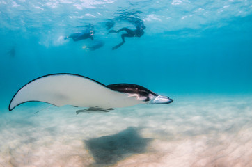 Spoed Fotobehang Dolfijn Manta Ray swimming in the wild with people swimming and observing from the surface