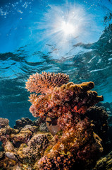 Spoed Fotobehang Koraalriffen Underwater shot of colorful coral reef in clear blue water